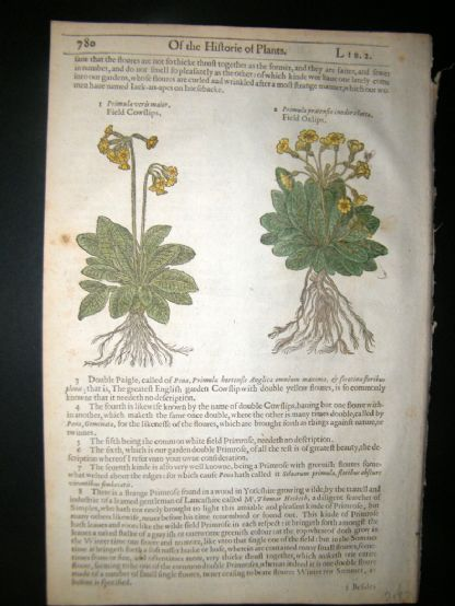 Gerards Herbal 1633 Hand Col Botanical Print. Field Cowslips, Oxlips, Mullein | Albion Prints